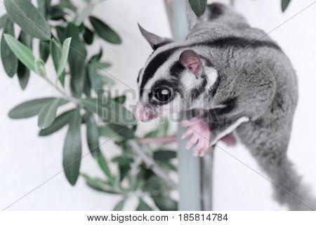 Cute sugar glider on branch against light background