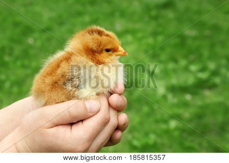 Woman holding little baby chick