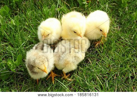 Cute baby chicks on green grass, closeup