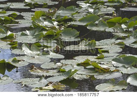 Close up of a Florida wetlands lake in winter covered with floating water lilies and creating a wonderful habitat for aquatic wildlife