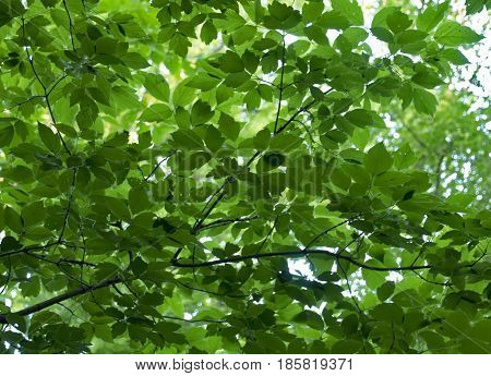 Looking up toward the canopy of leaves in a park in Minnesota.