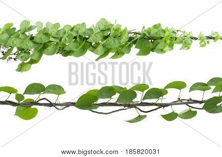 Vine Branch Vine leaves on white background