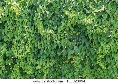 Vine Branch Vine leaves on wall background