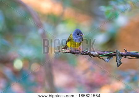 Lovely bird Grey-headed Canary-flycatcher or Grey-headed Flycatcher (Culicicapa ceylonensis) is a species of small flycatcher-like bird found in tropical Asia on branch
