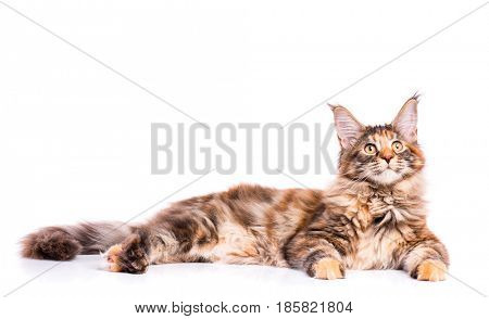 Portrait of domestic tortoiseshell Maine Coon kitten. Fluffy kitty isolated on white background. Adorable curious young cat lying down and looking up.