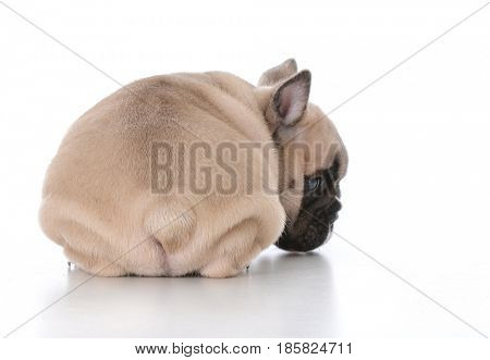 adorable french bulldog puppy bum on white background