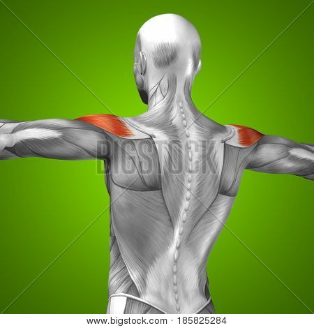 Concept conceptual 3D illustration back fit strong human anatomy or anatomical and gym muscle isolated, green background for body health with biological tendons, spine, fitness medical muscular system