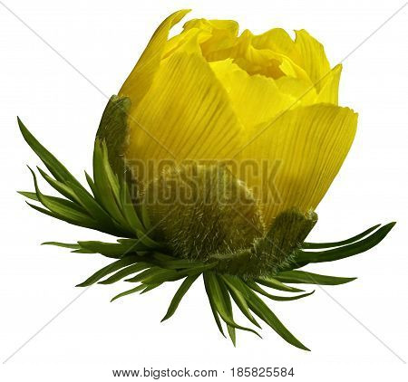 Flower yellow primrose. Bud of a spring flower. Isolated on white background with clipping path. no shadows. Side view. Close-up. For design. Nature.