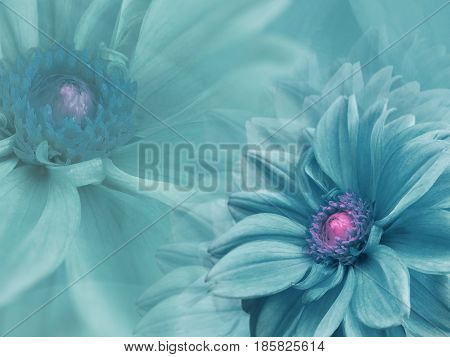dahlia turquoise flowers on turquoise blurred background . Closeup. Bright floral composition card for the holiday. Nature.