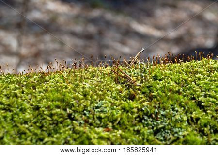 Spring moss on a tree in the forest is free of snow and pleases the eye with its luscious greenery.