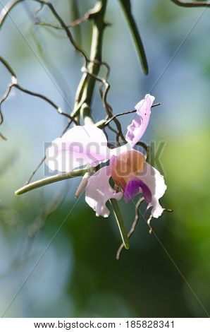 Orchid Is Growth In The Forest Thailand