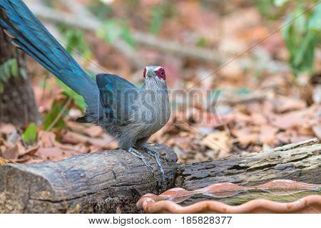 Beautiful of Green billed Malkoha (Phaenicophaeus tristis) great of cuckoo bird drinking water on tub