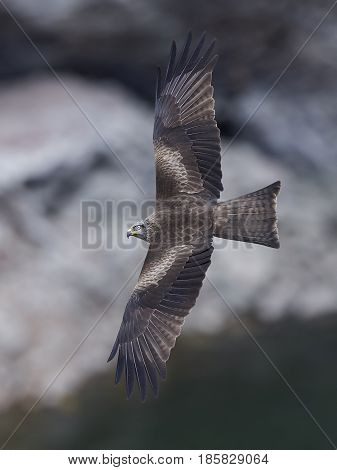 Black kite in flight with blurred cliffs in the background