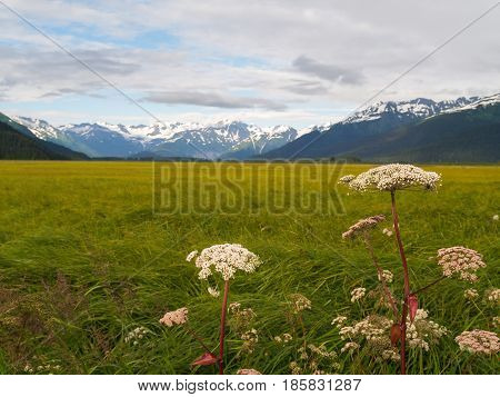 Lush green vegetation beyond white wildflowers of wetland surrounded by distant snow covered mountains Alaska.