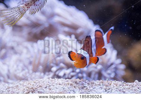 Ocellaris Clownfish (amphiprion Ocellaris)