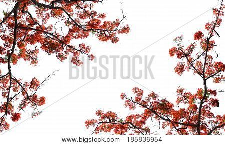 beautiful red guppy flower on white background