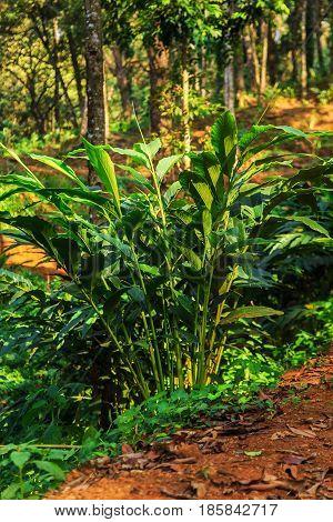 Wild Jungle In The Highlands. Cardamom.