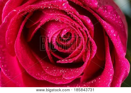 Closeup single red rose with drops of dew isolated on black background. Shallow focus