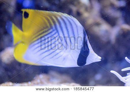 Threadfin Butterflyfish (chaetodon Auriga)