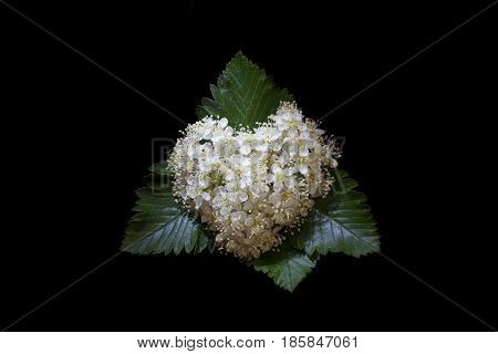 Flowers of mountain ash in the shape of heart on a black background