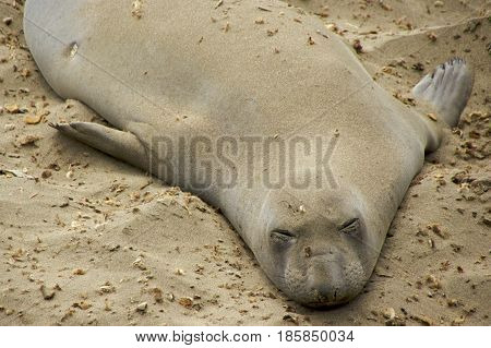 Molting sub-adult male elephant seal Piedras Blancas