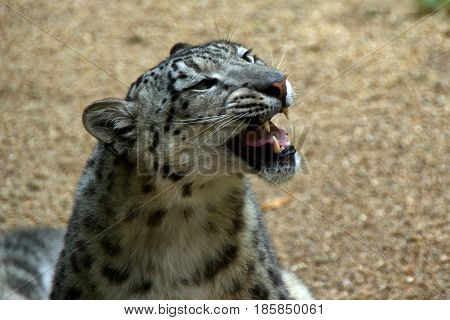 Closeup of a snow leopard or ounce (Panthera uncia syn. Uncia uncia) with its mouth open side view.