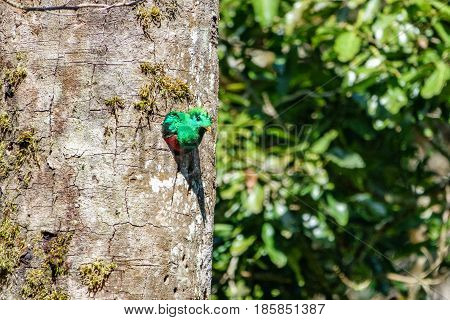 Side view of male Quetzal showing head in tree hole nest