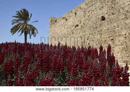 Lot of red Gladiolus flower and part of Famagusta old city wall in background picture from the North of Cyprus.