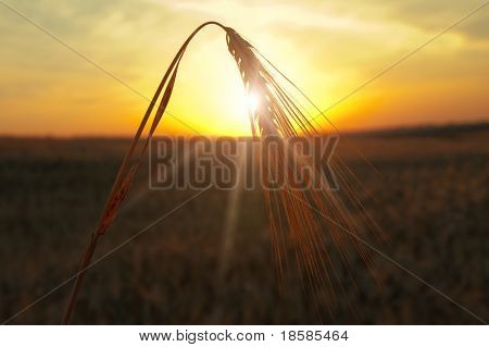 sunset on field at summer. ears of wheat sun against