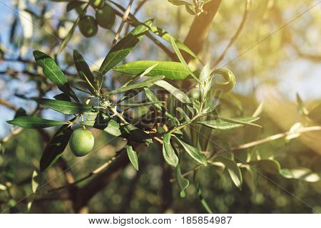 Fresh green olives fruit on tree branch with morning sunlight selective focus