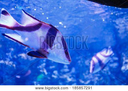 Nice Fish In Blue Water Near Rif