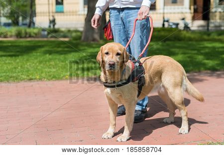 Guide Dog Is Helping A Blind Man