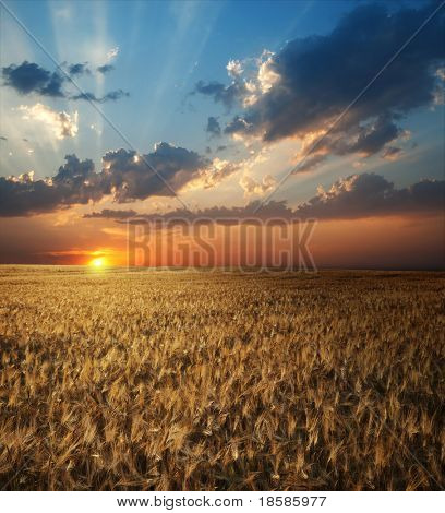 field of wheat in sunset time