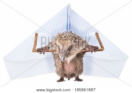 Funny hedgehog standing with a paper paraplane, isolated on a white background