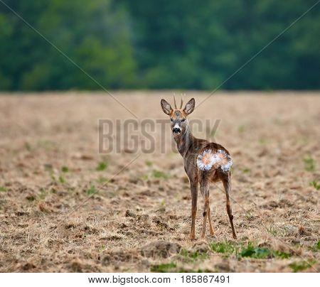 Roebuck On Plowed Land