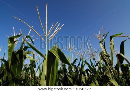 Corn Plantation Closeup