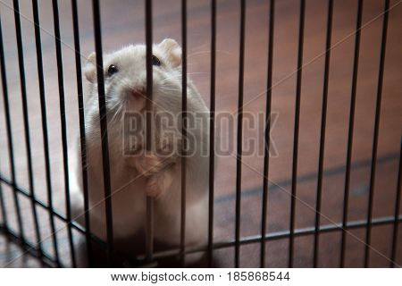 Funny Fluffy white hamster in a cage on floor
