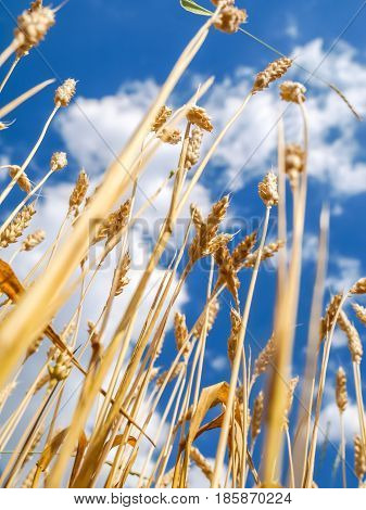 wheat close before harvest taken from below