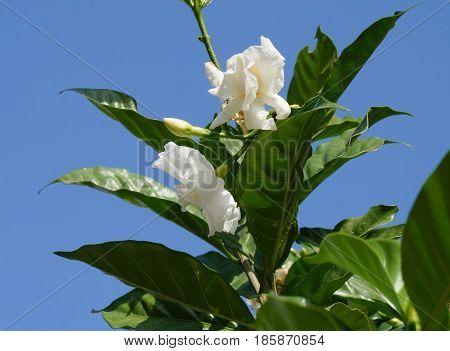 Jasminum sambac in bloom, selective focus on the flower