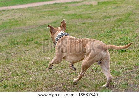 A dog a brown pit bull runs along the grass