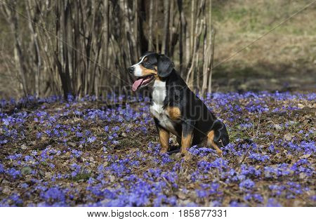 Entlebucher Sennenhund or Entlebucher Mountain Dog sits on a solar glade of blue flowers