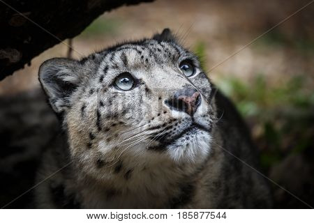 Face portrait of snow leopard - Irbis (Panthera uncia)
