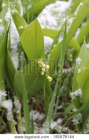 beautiful garden lily of the valley flowers in spring bloom covered white fluffy snow