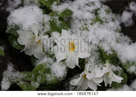 beautiful garden flowers in spring bloom covered white fluffy, snow