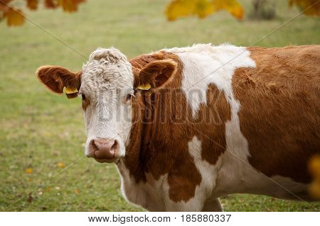 Brown and white dairy cow in pasture Czech Republic