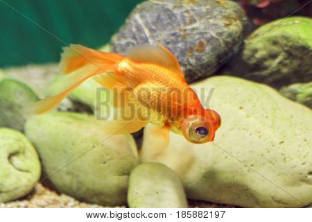 Bright orange fish-telescope floats in the aquarium among the smooth pebbles