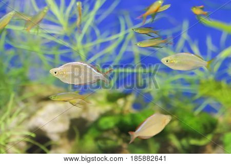 Shoal of fish is quietly swimming in the aquarium among the green algae.