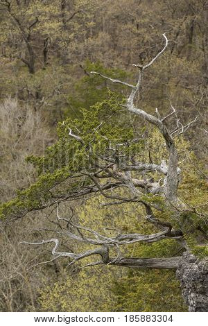 A twisted and partially barren tree in the woods.