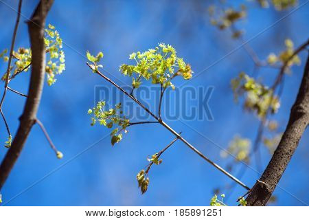 Branches of trees with young greens on a background of blue sky