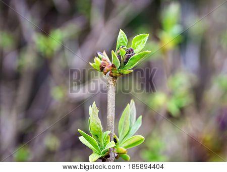 Spring shoots of lilac. Sprout of Syringa vulgaris. Lilac seedlings. Lilac saplings.